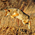 The coyote hunting for food is a part of urban wildlife.  Photo Credit: USFWS Mountain Prairie