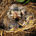 Baby birds in nest are a part of urban wildlife. Photo Credit: Tony Alter