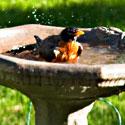 A Robin in a birdbath is a part of urban wildlife. Photo Credit: Steven Depolo